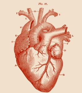 Royalty-Free-Images-Anatomy-Heart-GraphicsFairy-red1