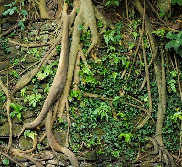 Bali_045_-_Ubud_-_tree_roots