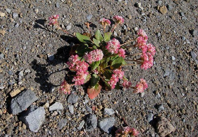 800px-Eriogonum_pyrolifolium