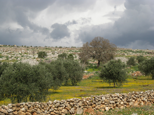 Landscape with olive trees and yellow flowers, Serjilla, Syria www.flickr.com